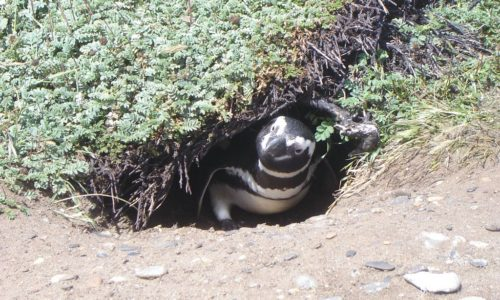 Penguin in burrow Otway Sound Chile