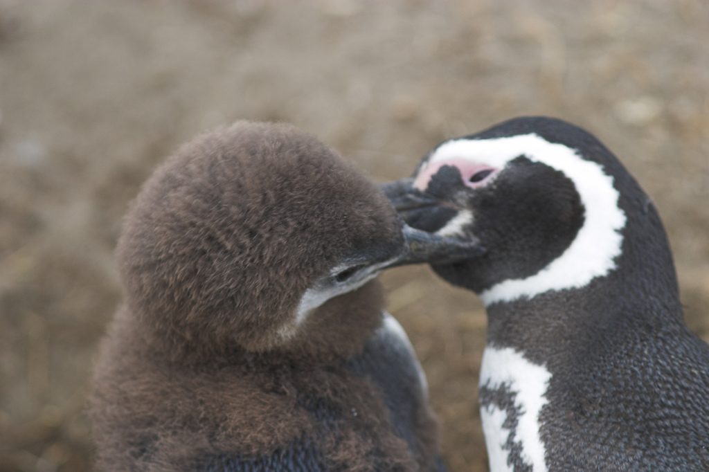 Mother penguin feeding her baby at Otway Sound Chile