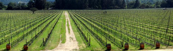 Wineyards of CasaBlanca Valley