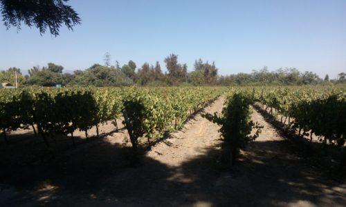 Vineyards - Undurraga Chile