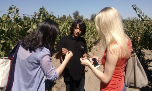 Undurraga vineyard - tasting grapes Chile