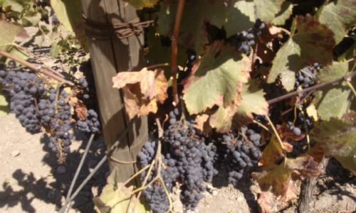 Undurraga vineyard grapes Chile