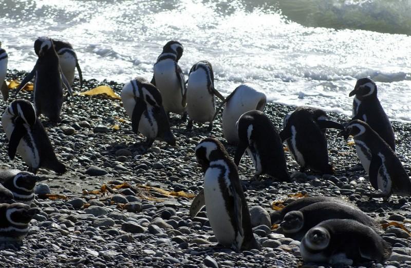 penguins patagonia chile